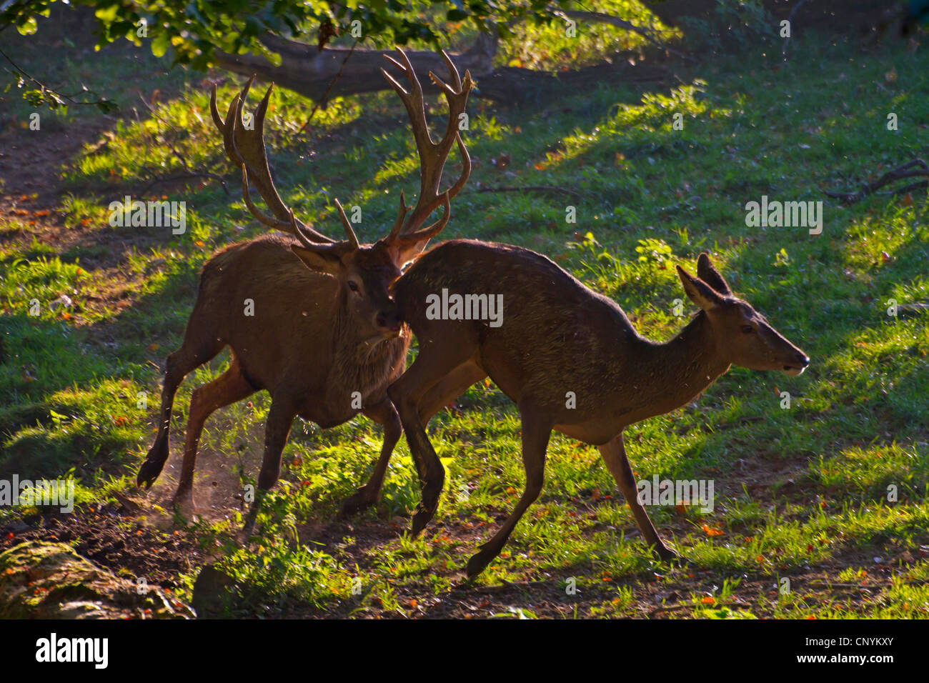 red deer (Cervus elaphus), pairing season, Switzerland, Sankt Gallen - Stock Image