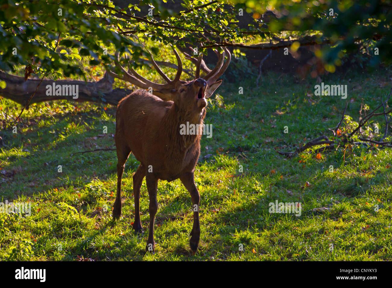 red deer (Cervus elaphus), roaring, Switzerland, Sankt Gallen - Stock Image