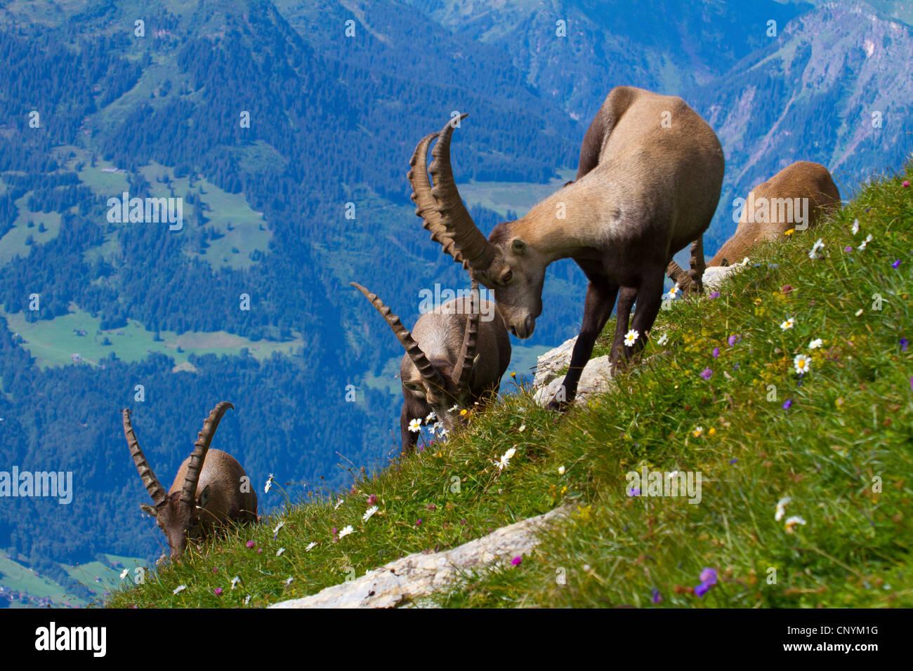 alpine ibex (Capra ibex), bucks grazing, Switzerland, Sankt Gallen, Chaserrugg - Stock Image