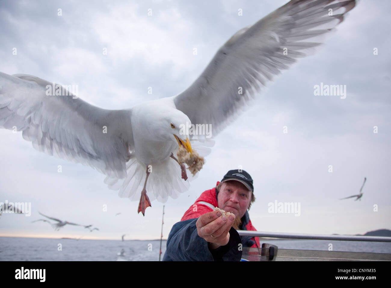 herring gull (Larus argentatus), feeding in flight out of a fisherman's hand, Norway, Nord-Trondelag, Flatanger - Stock Image