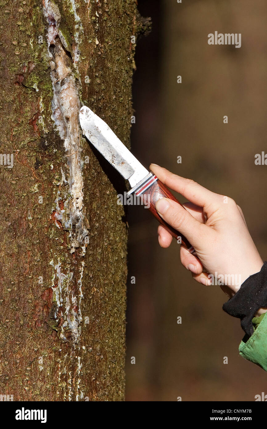Norway spruce (Picea abies), kid scratching tree gum with a pocket knife from a spruce trunk, Germany - Stock Image