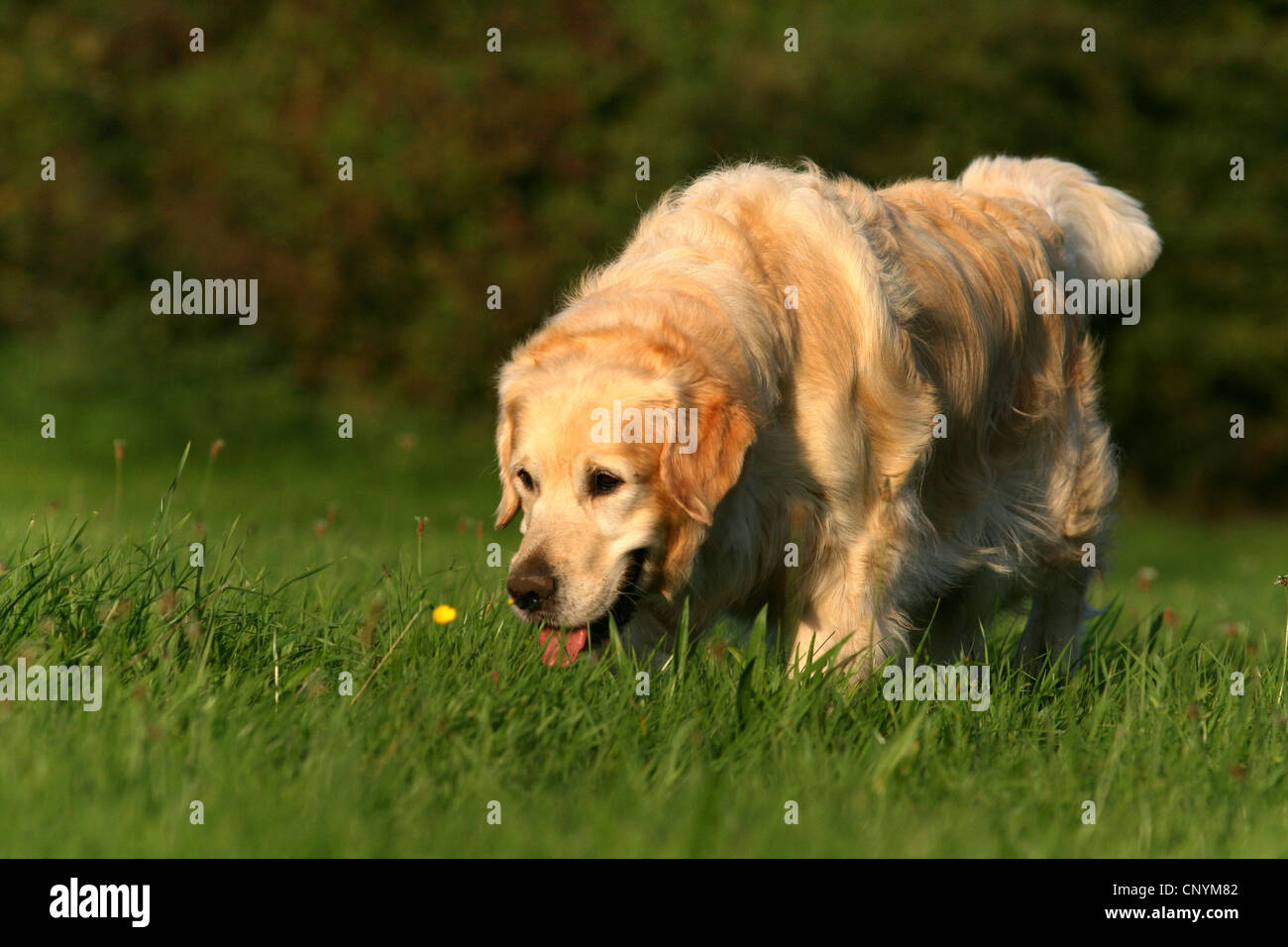 Golden Retriever (Canis lupus f. familiaris), 5 years old mal in a meadow - Stock Image