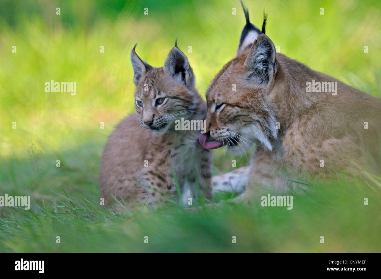 Eurasian lynx (Lynx lynx), mother with juvenile cleaning each other's fur Stock Photo
