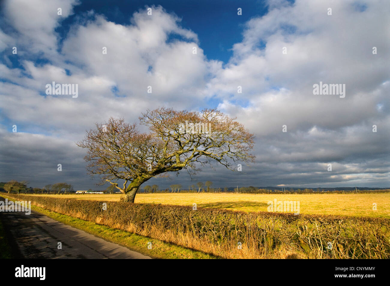 single tree at an approach to the WWT Caerlaverock at Solway Firth, United Kingdom, Scotland, Caerlaverock NNR - Stock Image