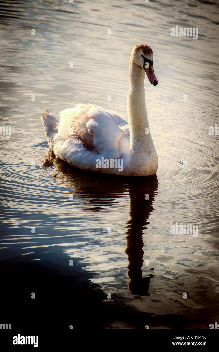 A young swan in evening sunlight - Stock Image