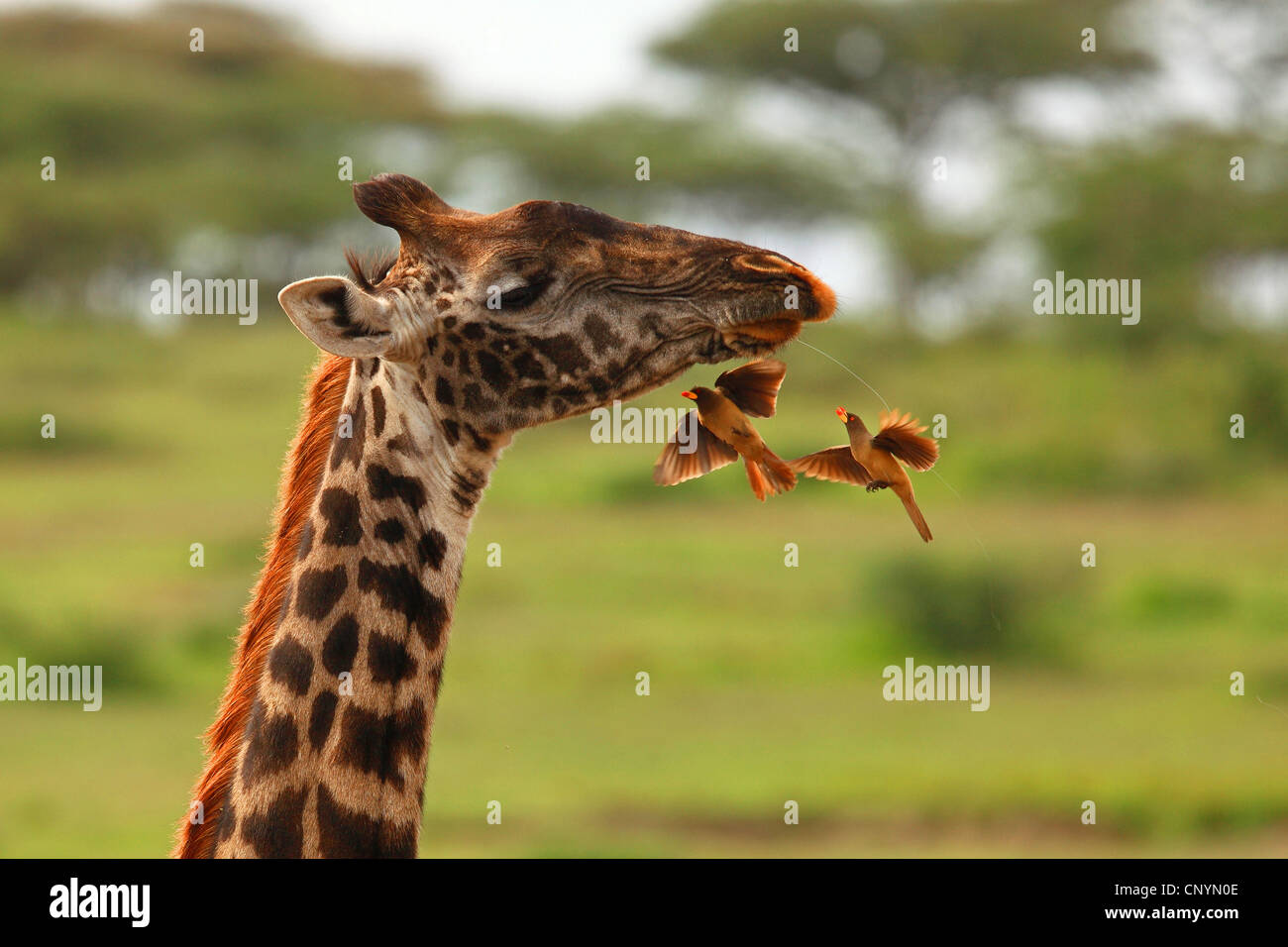 giraffe (Giraffa camelopardalis), red-billed oxpecker eating other insects, Tanzania, Ngorongoro Conservation Area - Stock Image