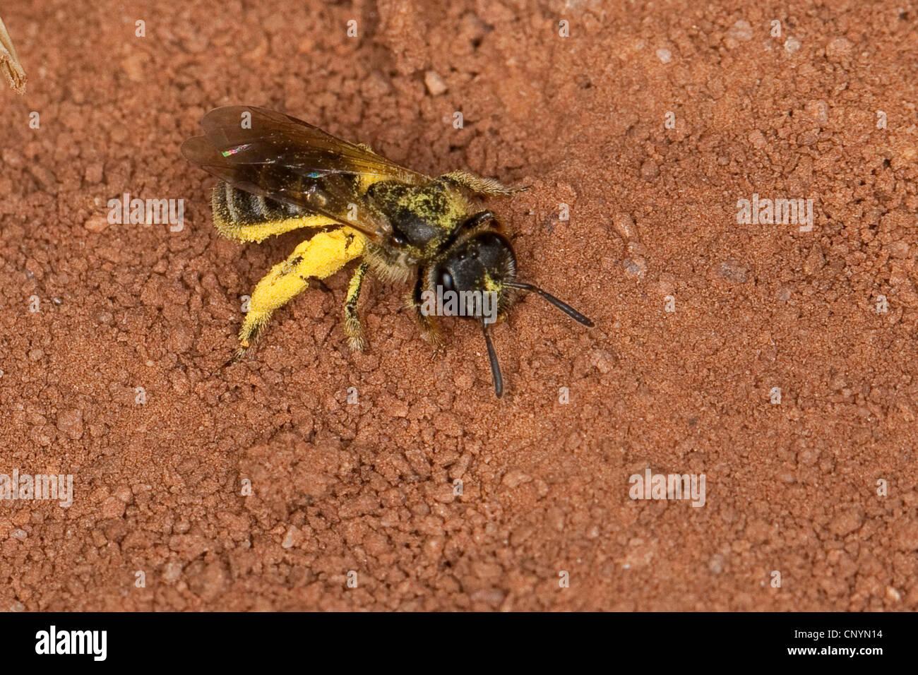 Sweat bee, European halictid bee (Lasioglossum spec. ), sitting on the ground, Germany - Stock Image