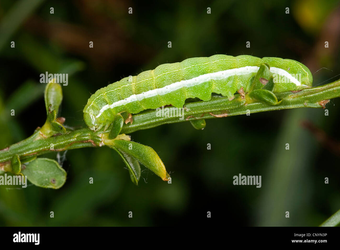 Hebrew character (Orthosia gothica), caterpillar, Germany - Stock Image