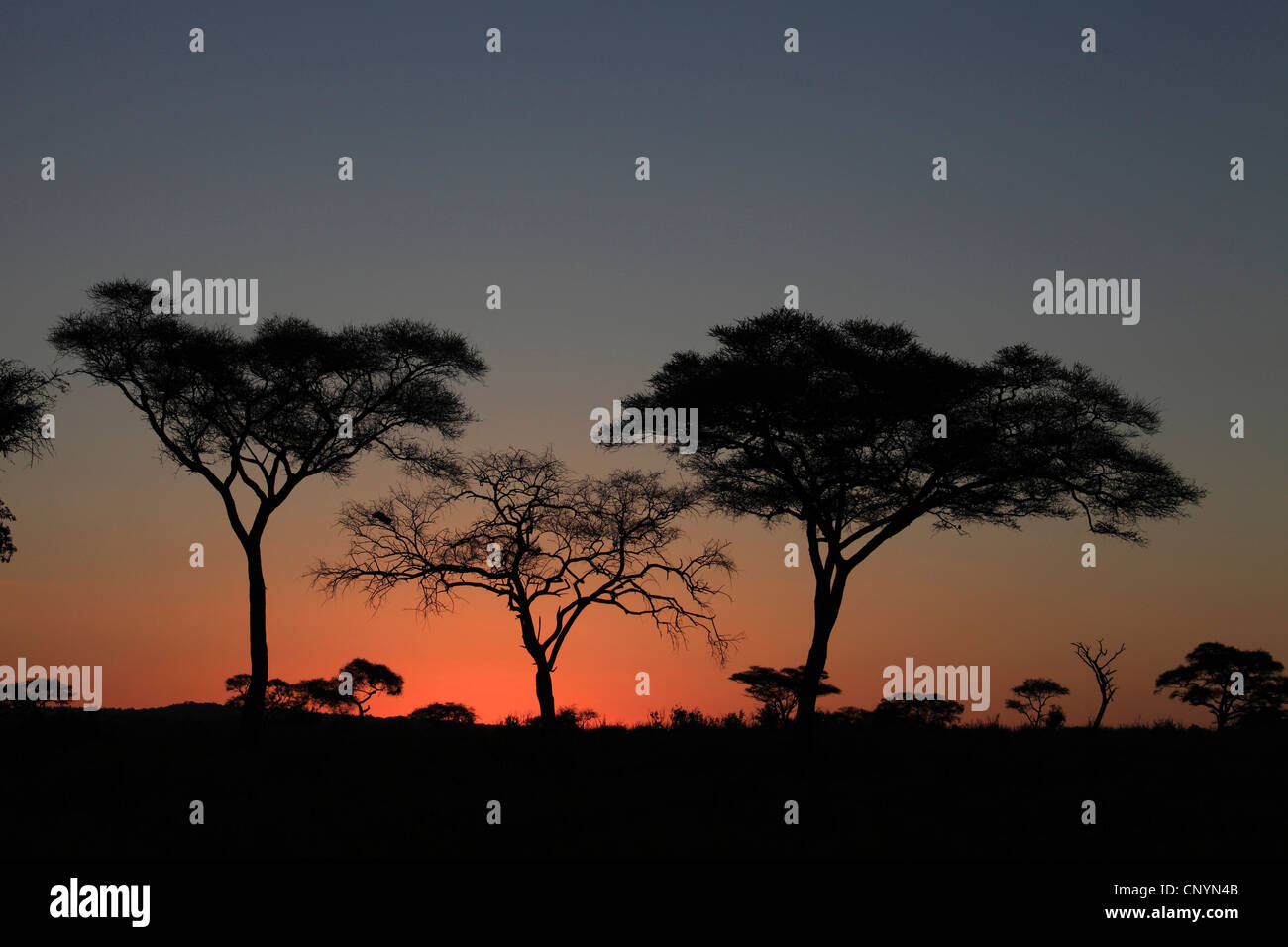 trees in the sunset, Tanzania, Tarangire National Park, Serengeti - Stock Image
