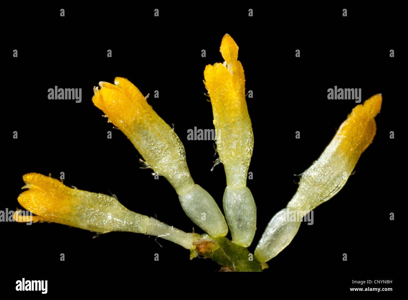 common daisy, lawn daisy, English daisy (Bellis perennis), isolated tubular flowers, Germany - Stock Image