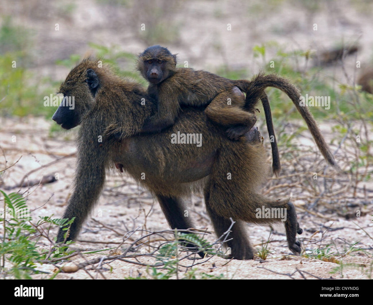 yellow baboon, savannah baboon (Papio cynocephalus), young baboon at the back of their mother, Tanzania, Lake Manyara - Stock Image