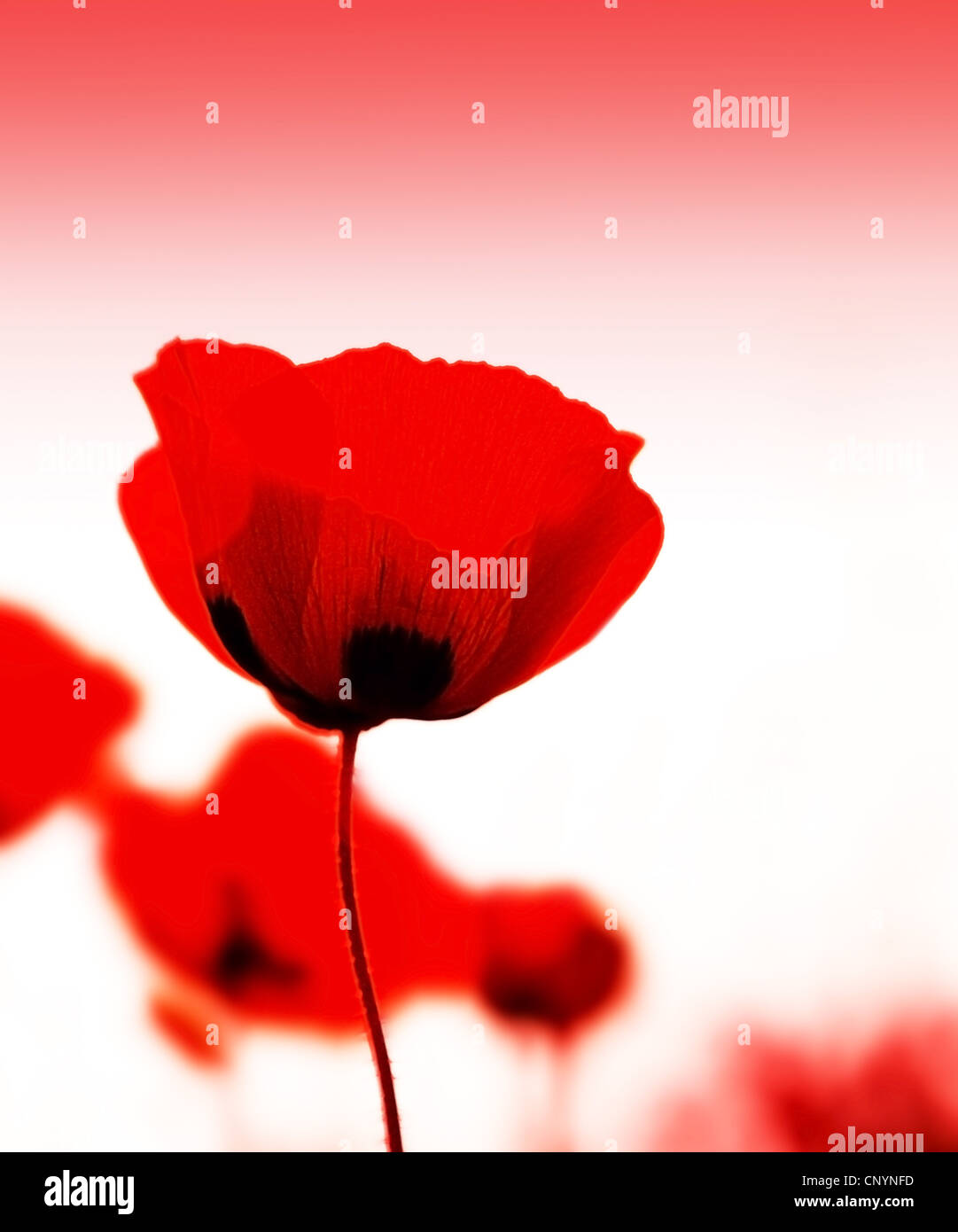 Red poppy flowers meadow with selective soft focus - Stock Image