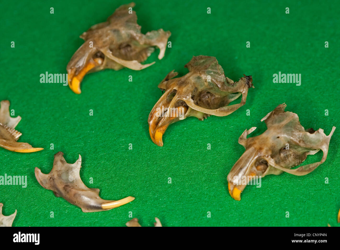 Barn owl (Tyto alba), different sorted mouse bones, undigested food residue from a pellet - Stock Image