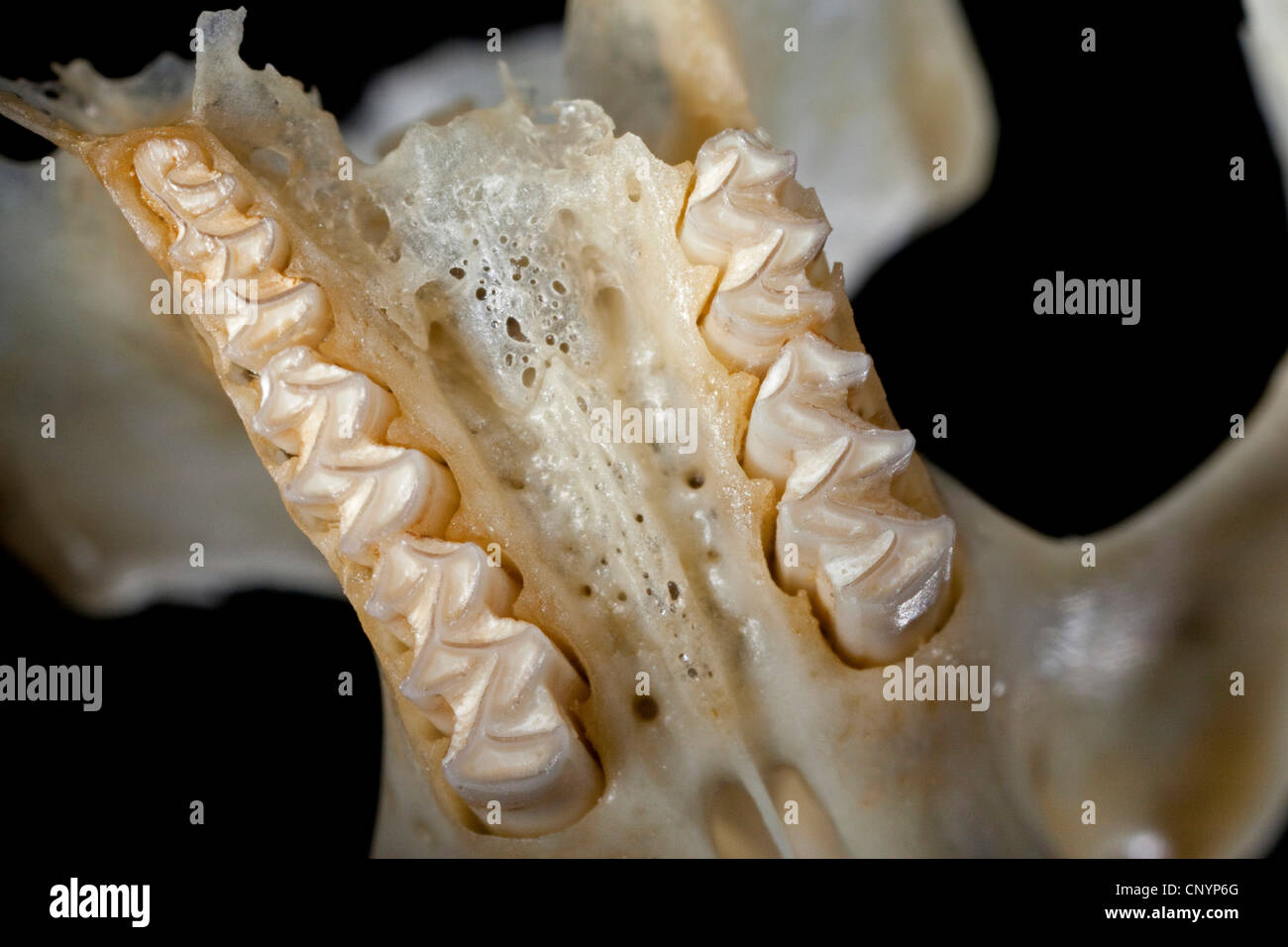 Barn owl (Tyto alba), upper jaw of a mouse, undigested food residue from a pellet - Stock Image