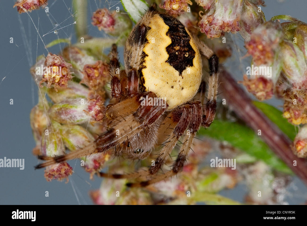 marbled orbweaver, marbled spider (Araneus marmoreus f. pyramidata, Araneus marmoreus pyramidata), on a grass ear, - Stock Image