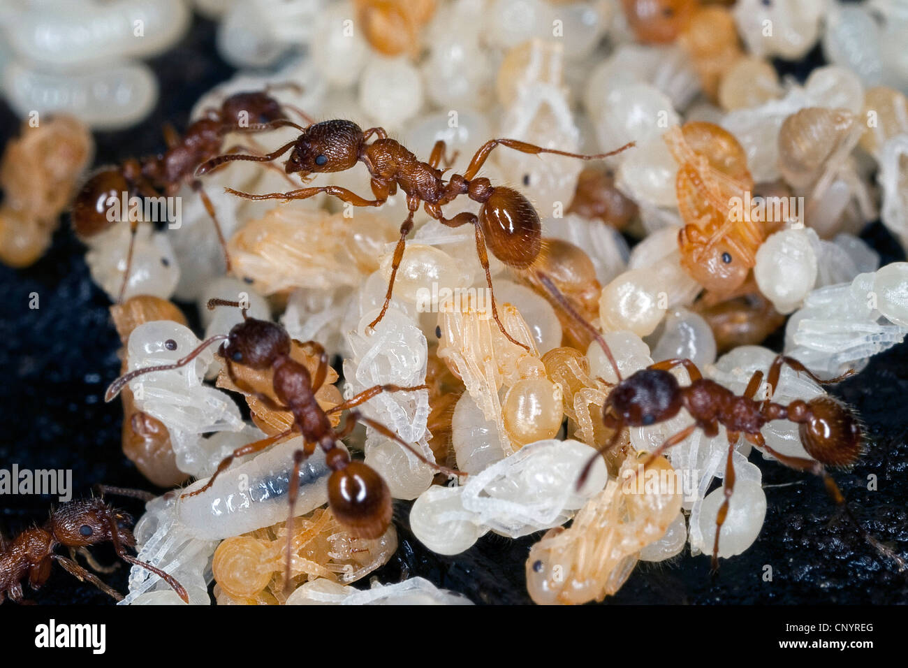 red myrmicine ant, red ant (Myrmica rubra), nest with workers, pupas and larvae, Germany - Stock Image