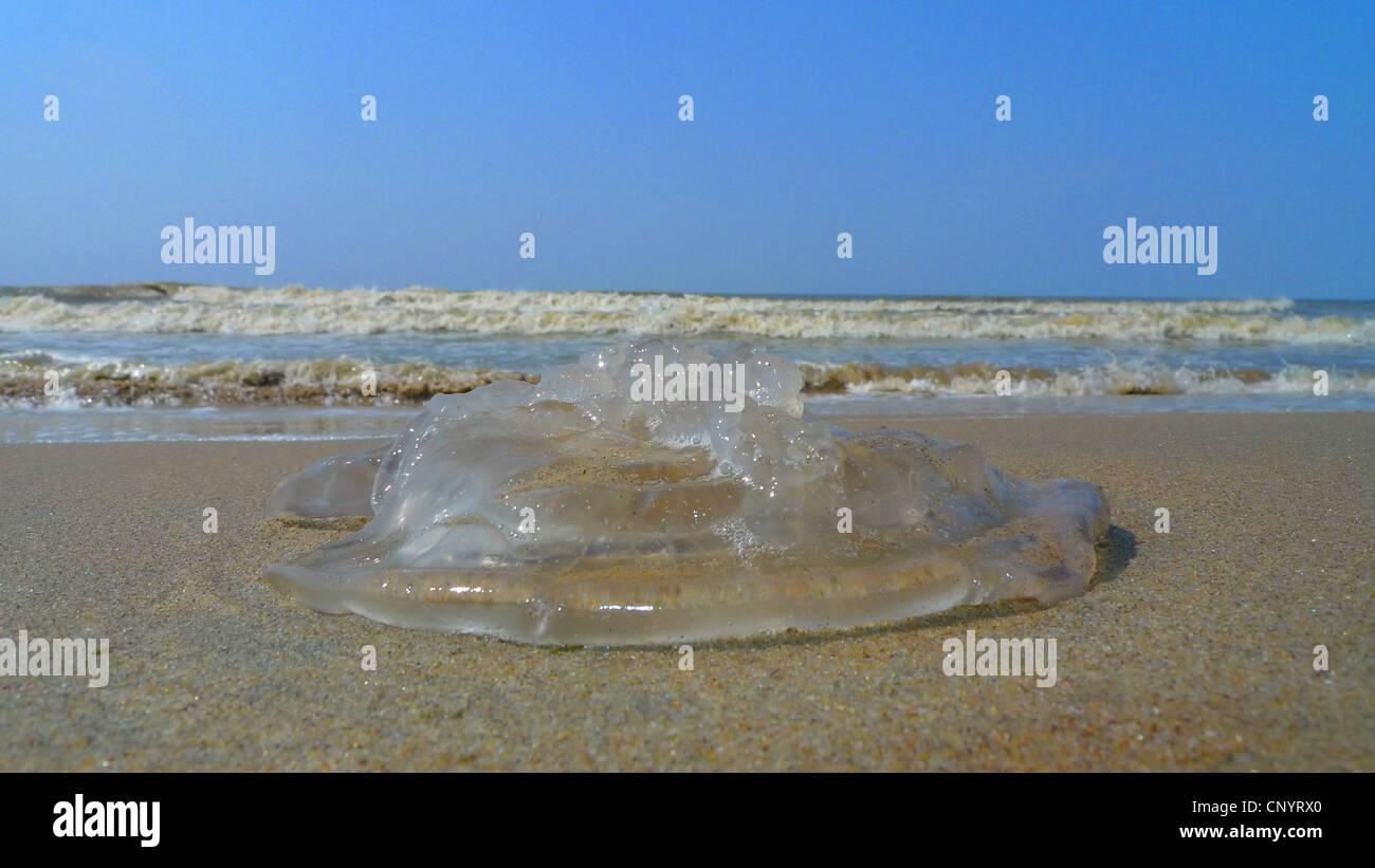 compass jellyfish, red-banded jellyfish (Chrysaora melanaster, Chrysaora hysoscella), remains of a jellyfish at the sand beach, Germany, Mecklenburg-Western Pomerania, Zingst Stock Photo