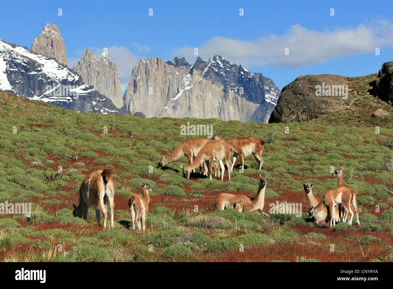 guanaco (Lama guanicoe), grazing herd, Torres del Paine in background, Chile, Torres del Paine National Park - Stock Image