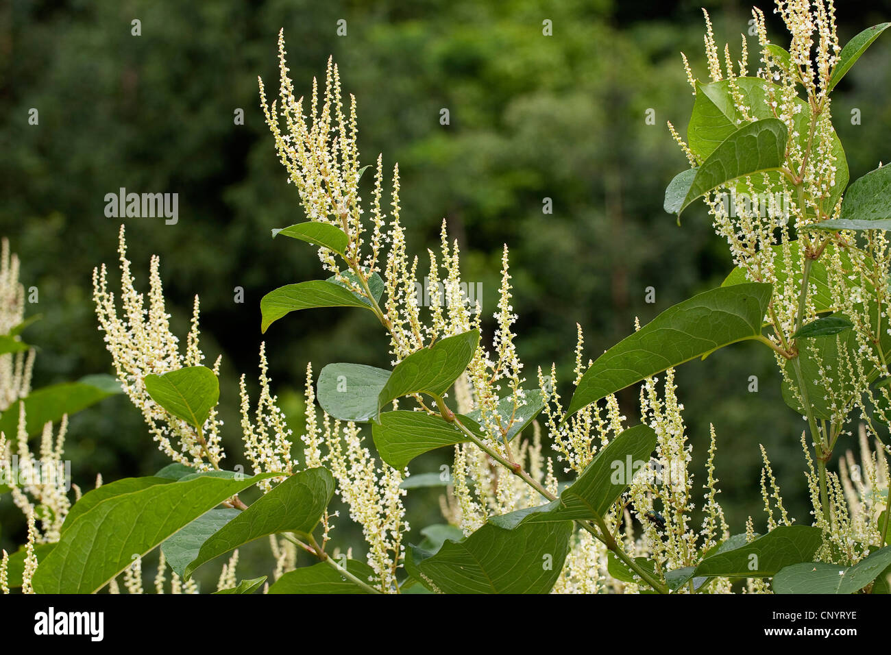 Japanese Knotweed (Fallopia japonica, Reynoutria japonica), blooming, Germany Stock Photo