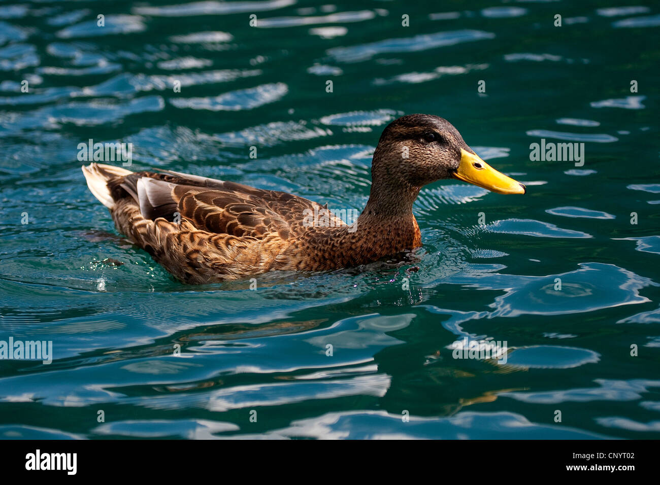 mallard (Anas platyrhynchos), male in eclipse plumage similar to a female, Germany - Stock Image