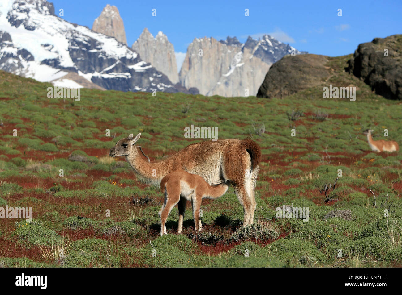guanaco (Lama guanicoe), mother suckling her child, Chile, Torres del Paine National Park - Stock Image