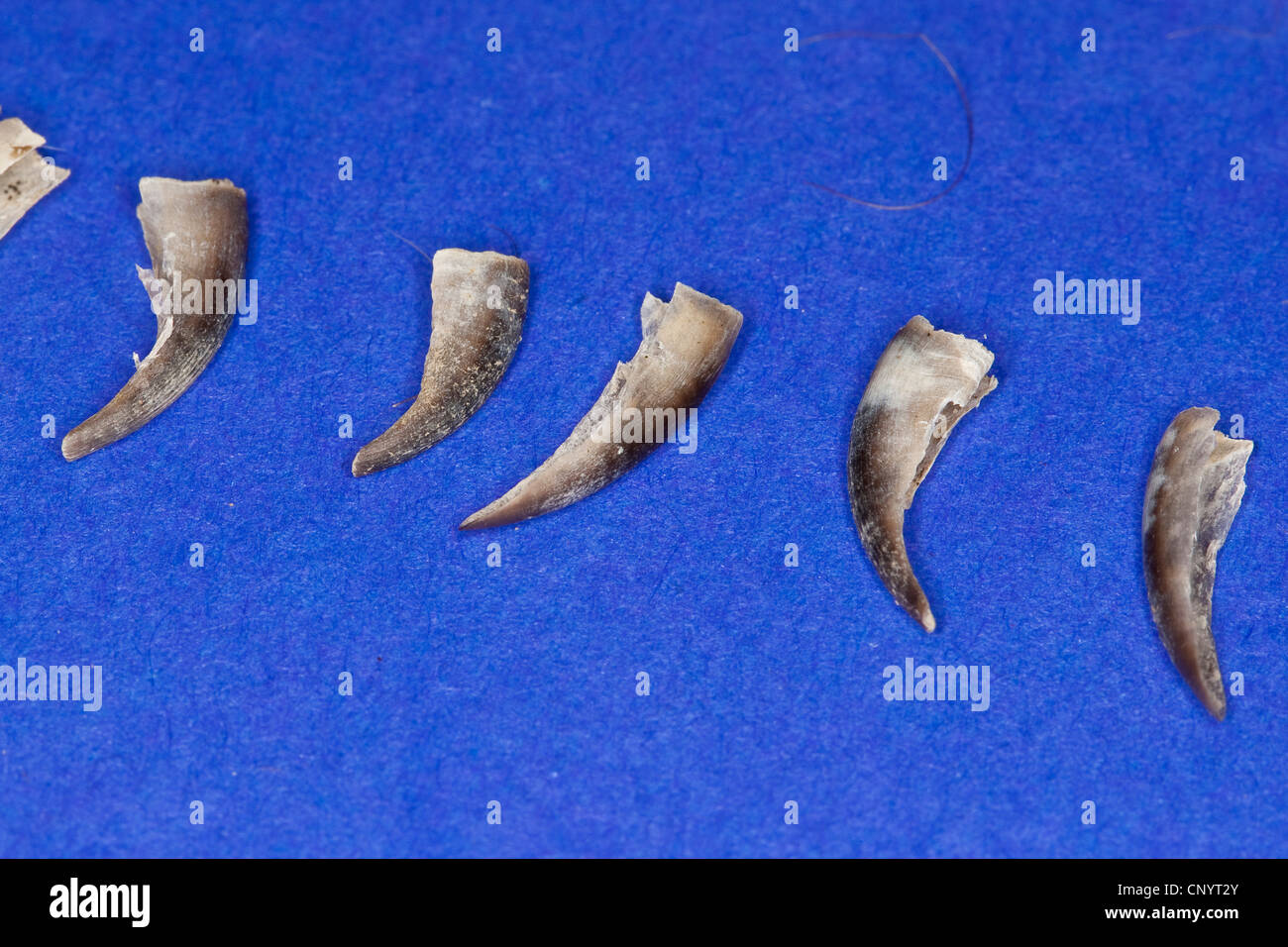 northern eagle owl (Bubo bubo), claws of a hedgehog - undigested food residue from a pellet - Stock Image