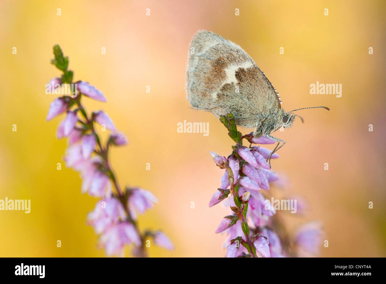 small heath (Coenonympha pamphilus), sitting on heather, Kleiner Feuerfalter - Stock Image