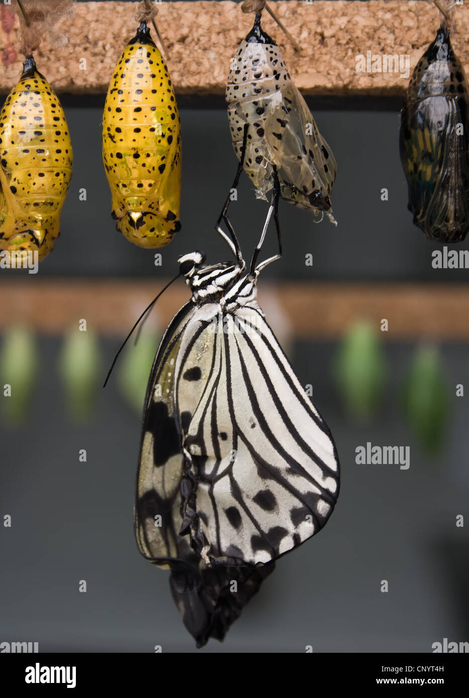 Recently hatched from its chrysalis, The Paper Kite, Rice Paper, or Large Tree Nymph butterfly. - Stock Image