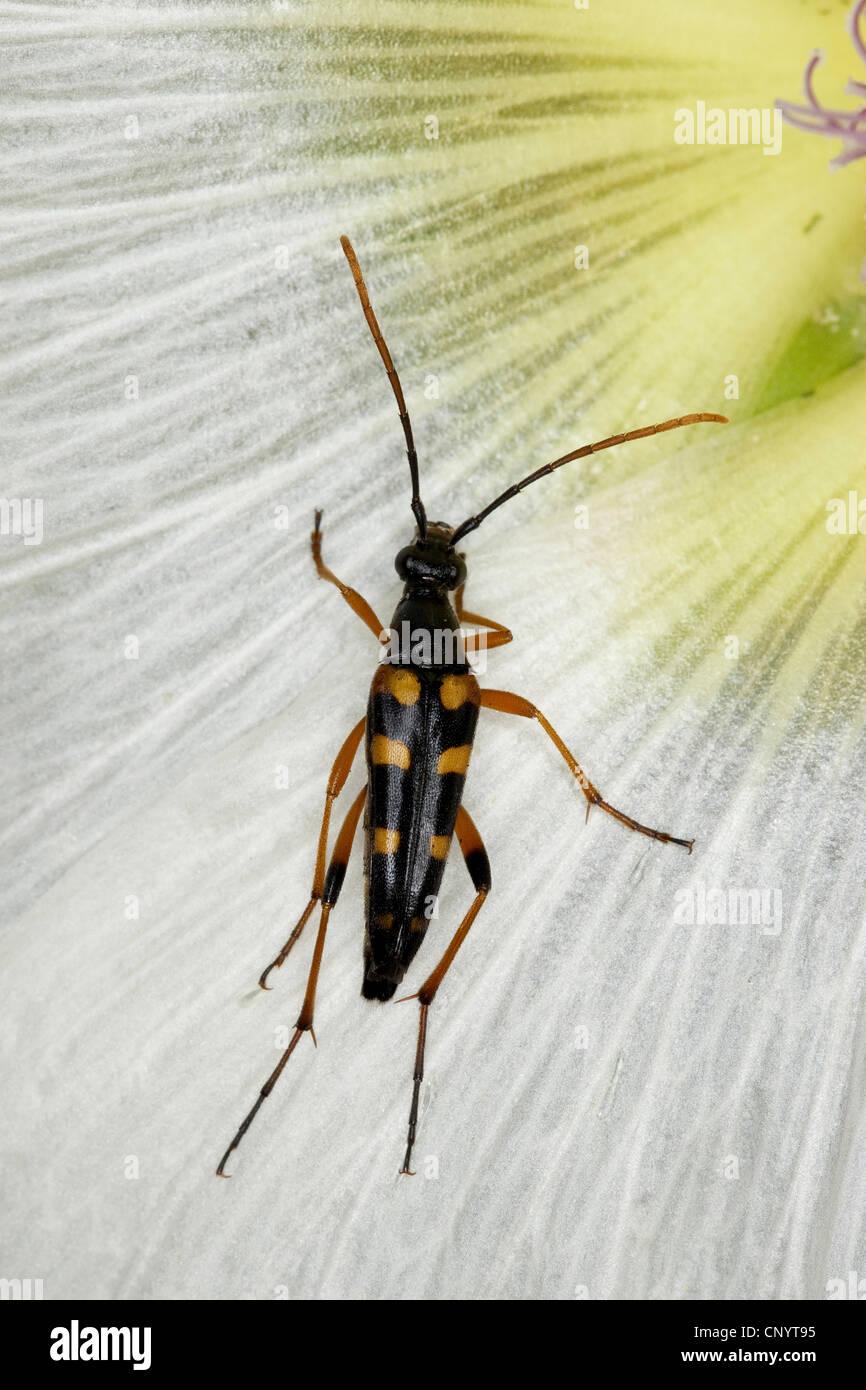 Long-horned beetle (Strangalia attenuata, Typocerus attenuata, Leptura attenuata), on a flower, Germany - Stock Image