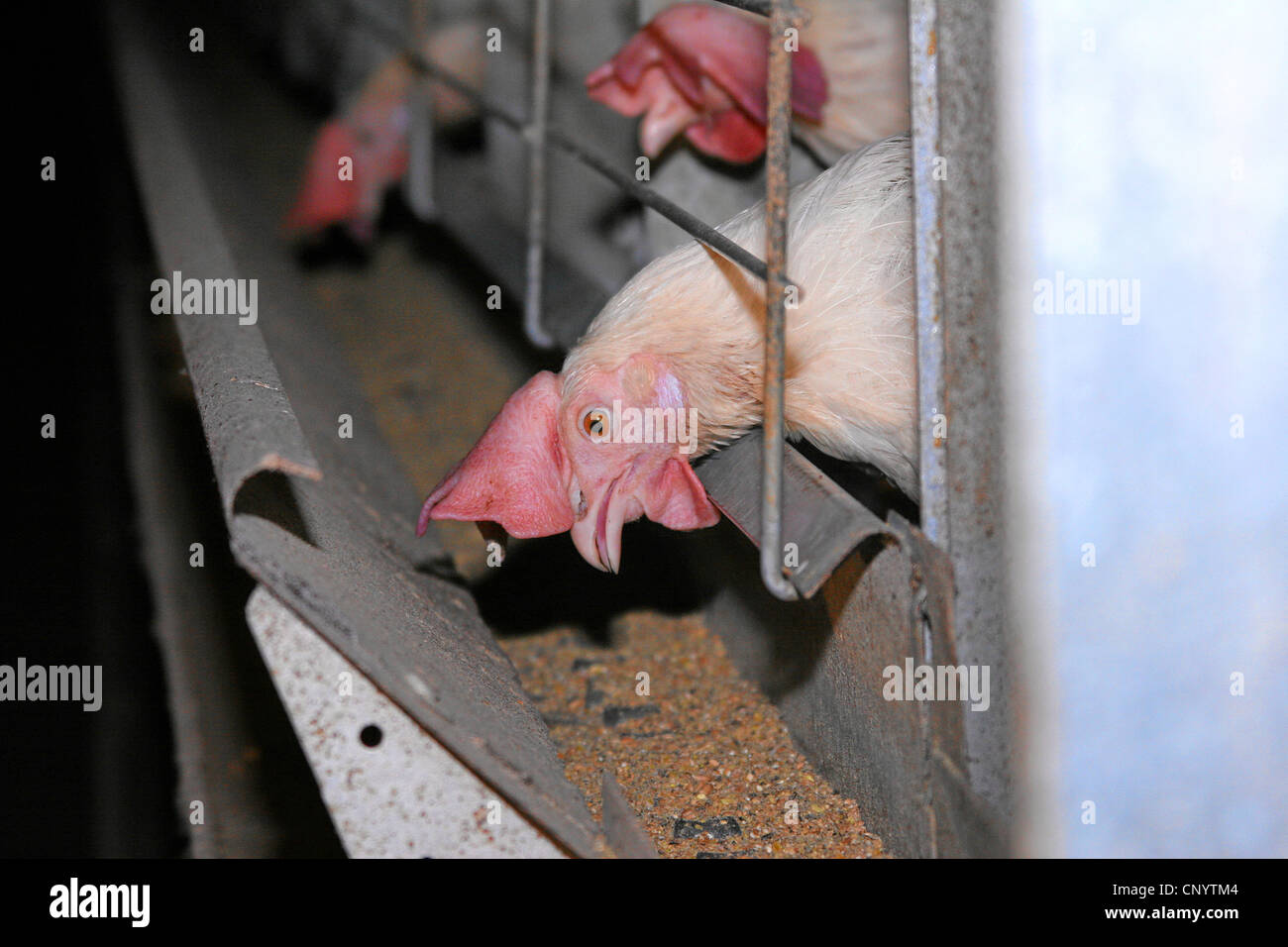 domestic fowl (Gallus gallus f. domestica), hens in a laying battery feeding from the ditch in front of their cages, - Stock Image