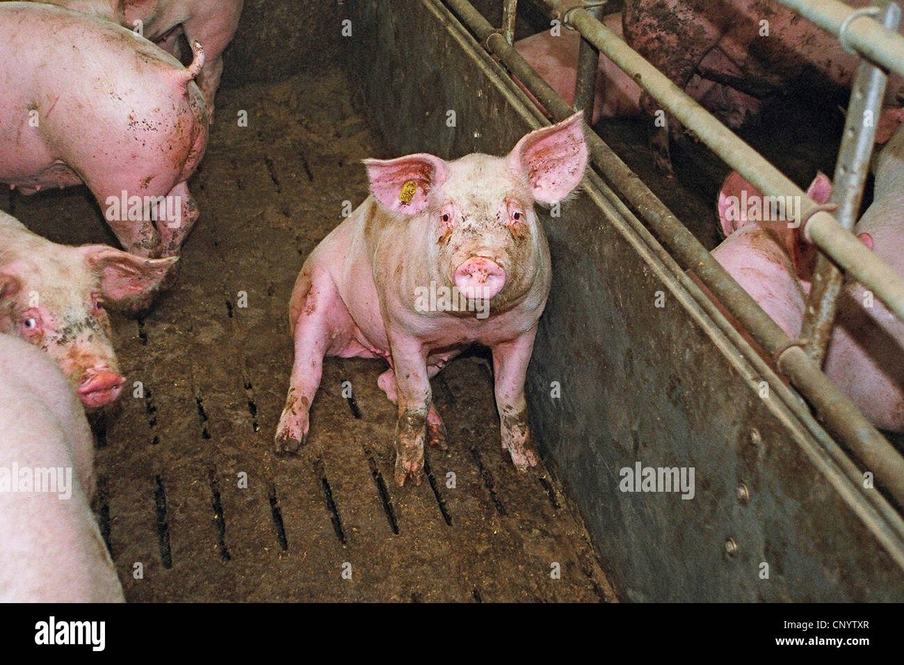 sitting on the slatted floor of a fattening stable , Germany - Stock Image