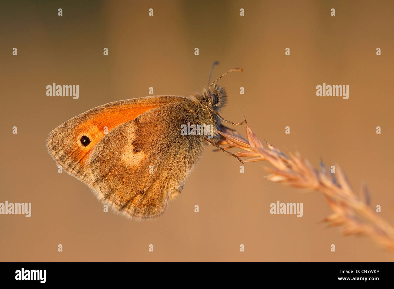 small heath (Coenonympha pamphilus), sitting at a grass ear, Germany - Stock Image