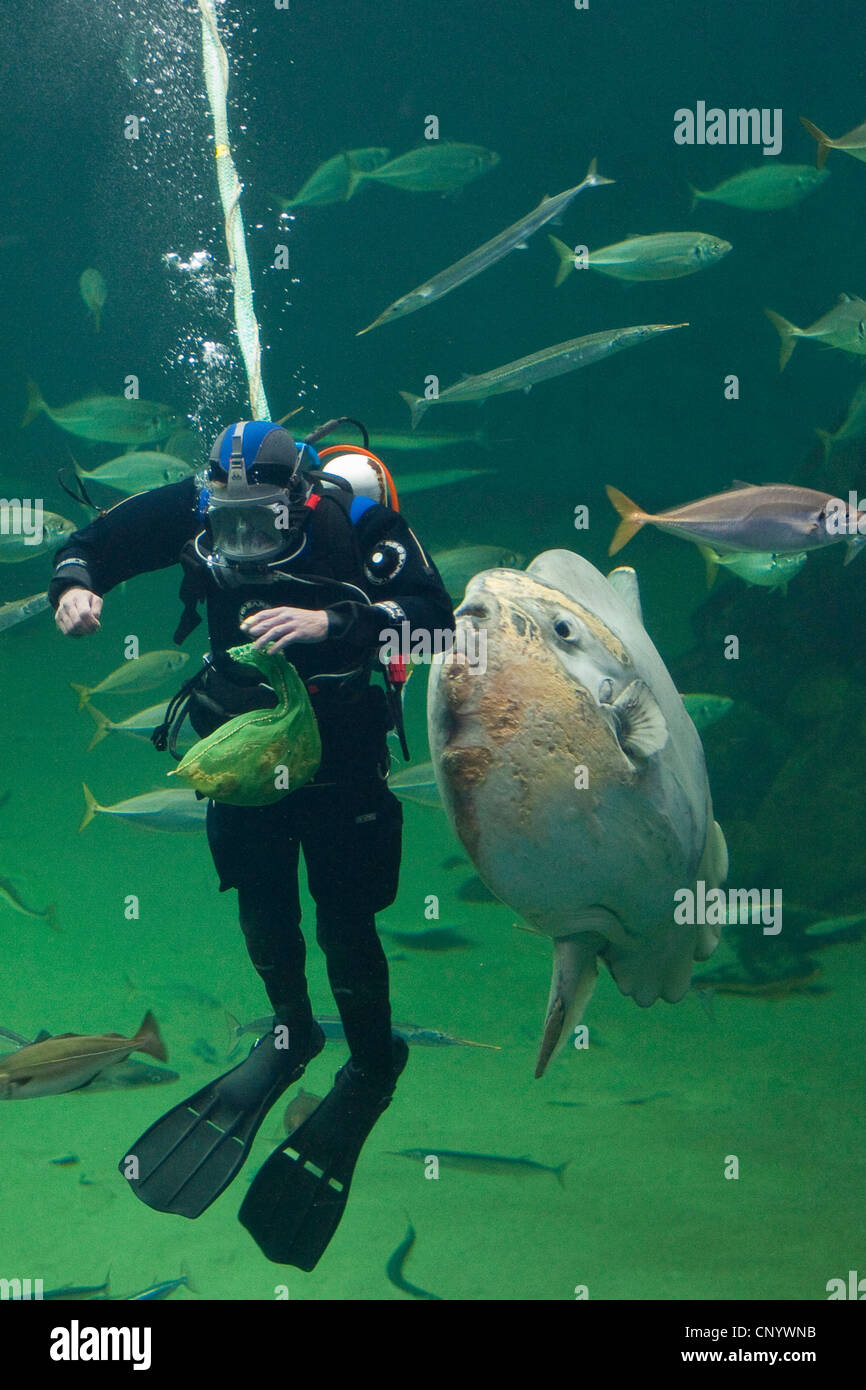 ocean sunfish (Mola mola), diver feeding fishes in a huge fish tank - Stock Image