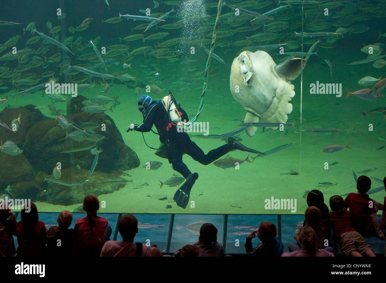 ocean sunfish (Mola mola), visitors looking to huge fish tank, a diver feeding the fishes - Stock Image