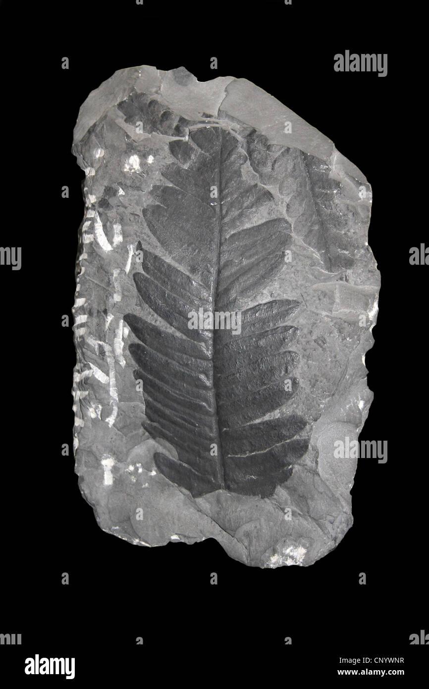 Pteridosperm Fossil Upper Carboniferous Lancashire, UK - Stock Image