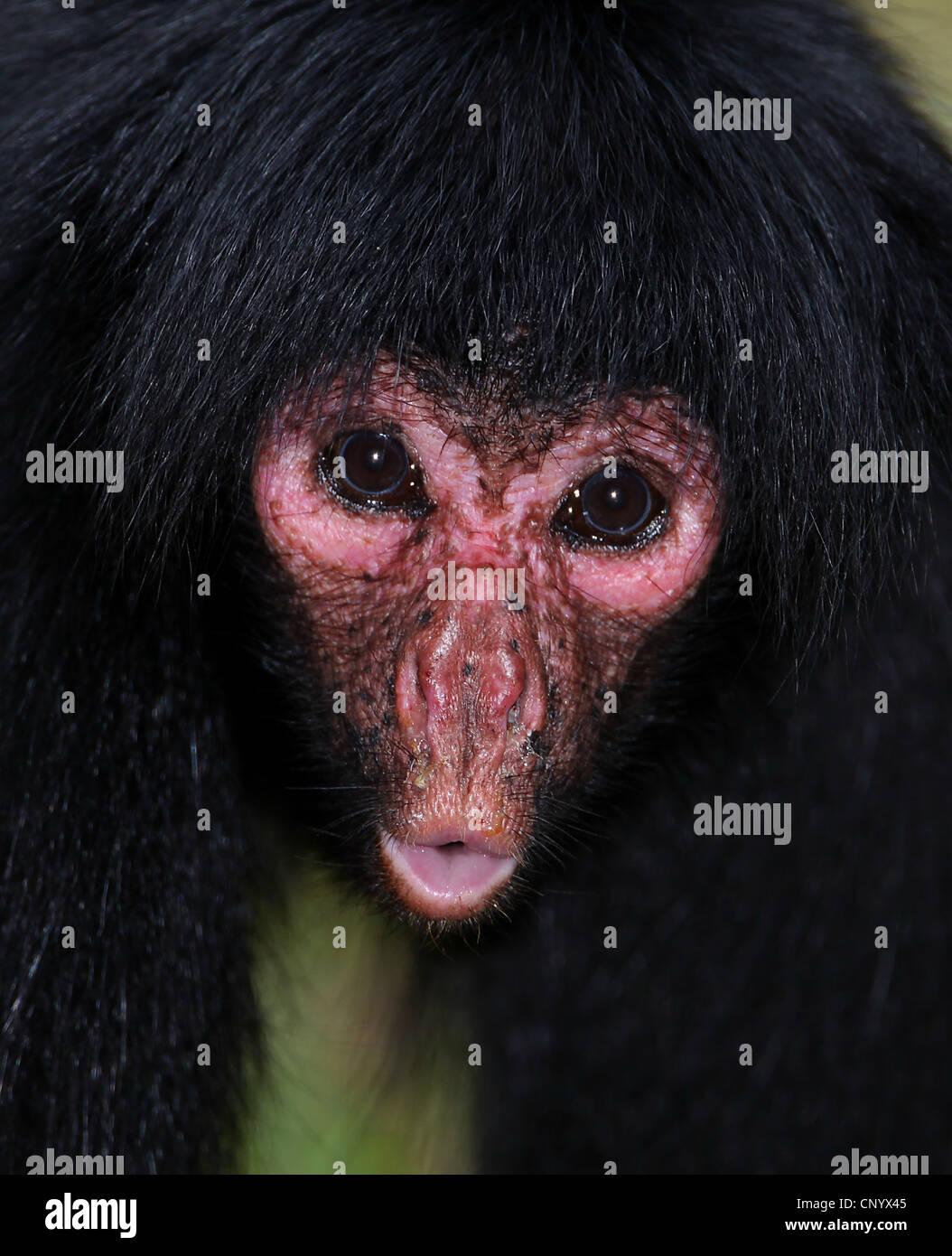 Red-faced Black Spider Monkey (Ateles paniscus), portrait, Brazil, Para Stock Photo