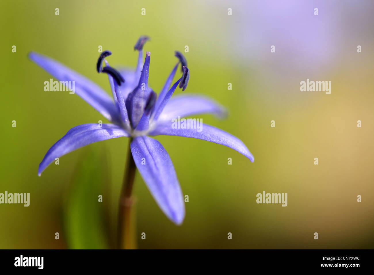 twin-leaf squill (Scilla bifolia), flower, Germany Stock Photo