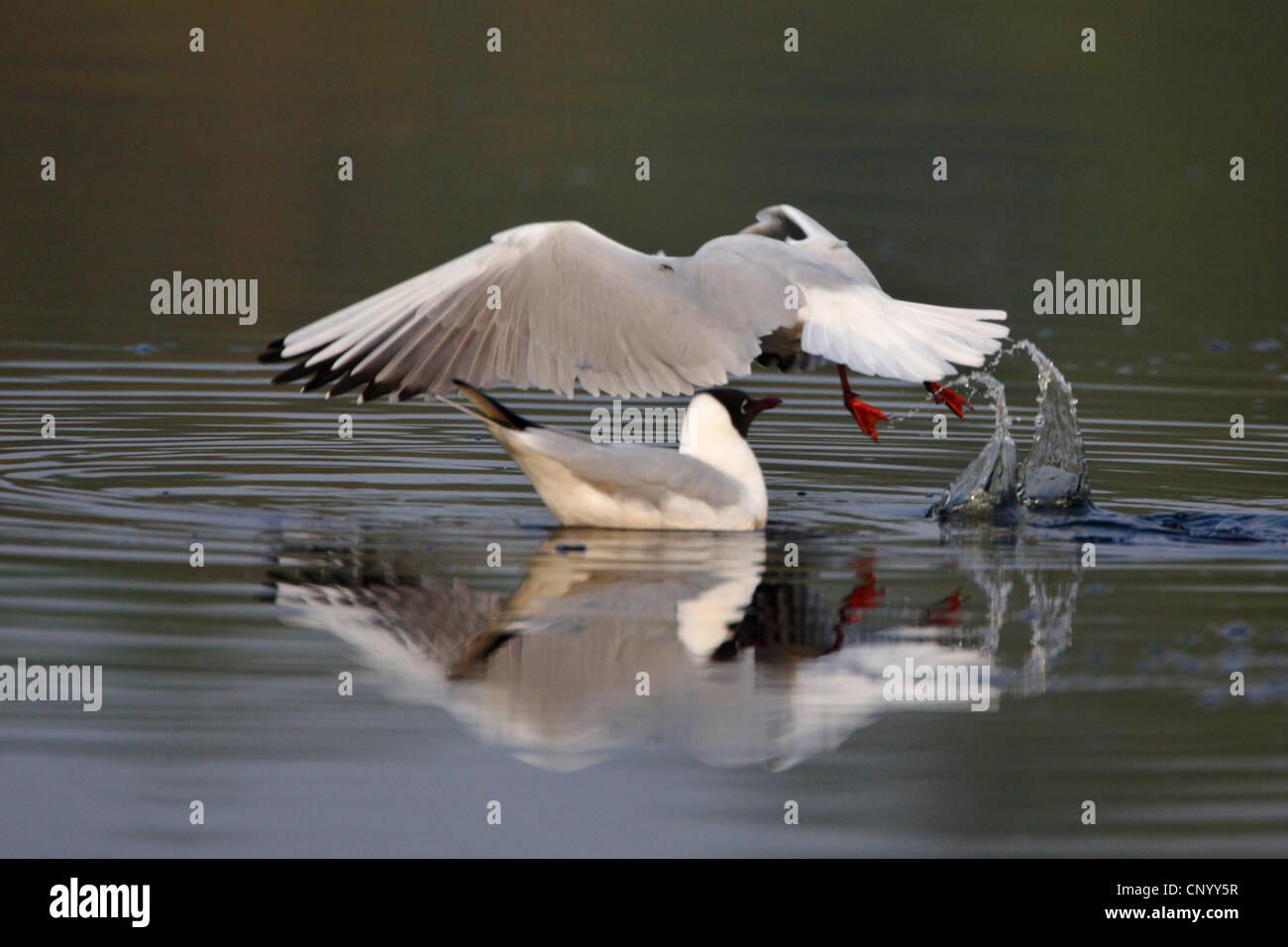 black-headed gull (Larus ridibundus), starting from a lake, Germany Stock Photo