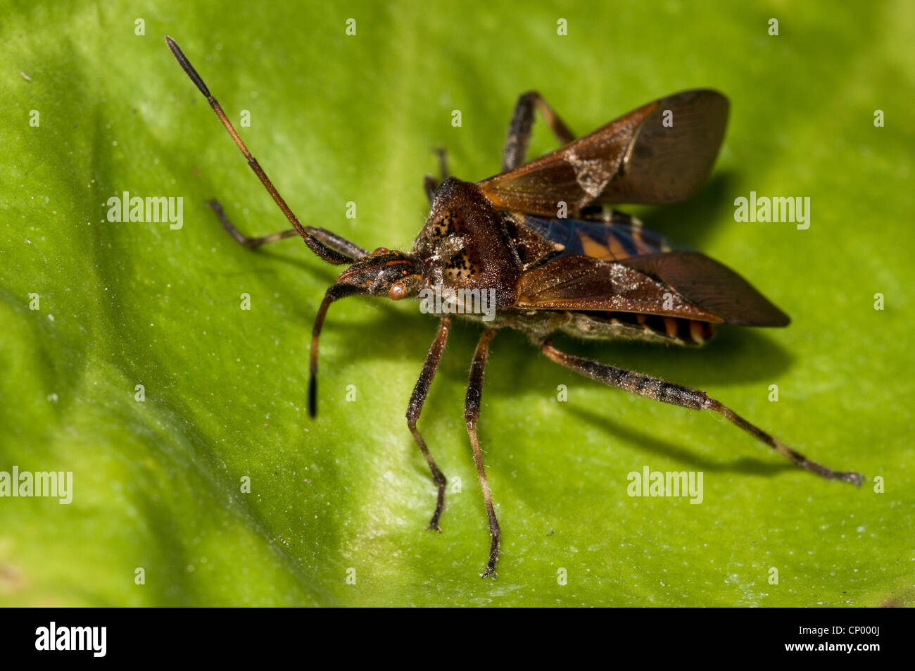 A western conifer seedbug (Leptoglossus occidentalis) resting on a leaf with its wing cases opening, preparatory - Stock Image