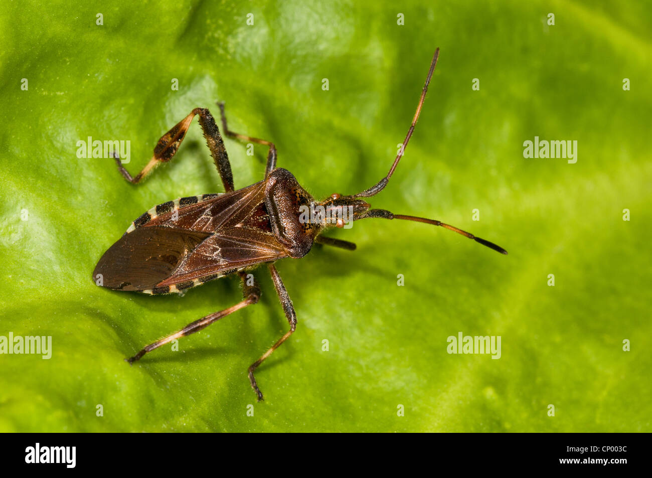 A western conifer seedbug (Leptoglossus occidentalis) resting on a leaf in a garden in Belvedere, Kent. - Stock Image