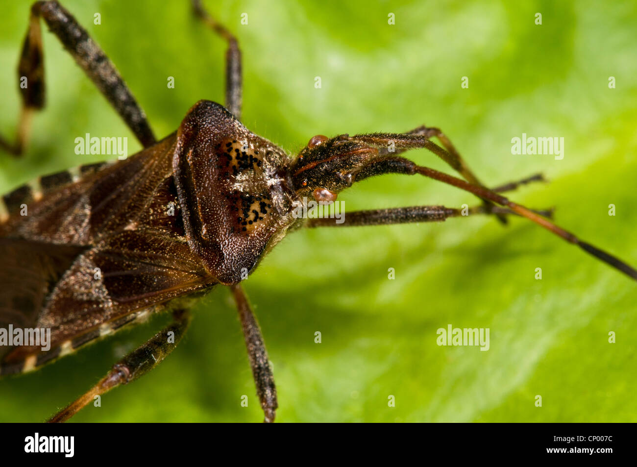 A close up on the head of a western conifer seedbug (Leptoglossus occidentalis) resting on a leaf and cleaning its - Stock Image