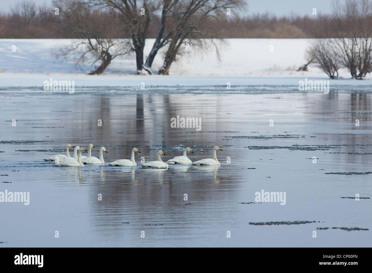 whooper swan (Cygnus cygnus), group on River Elbe in winter, Germany, Lower Saxony Stock Photo