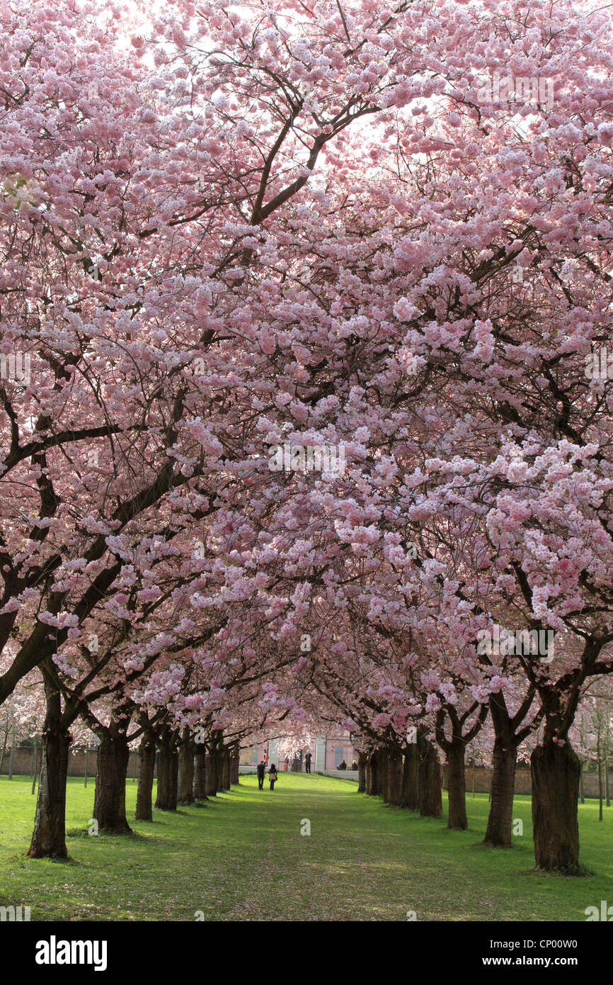 alley with ornamental cherry trees in garden Schwetzingen palace, Schwetzingen - Stock Image