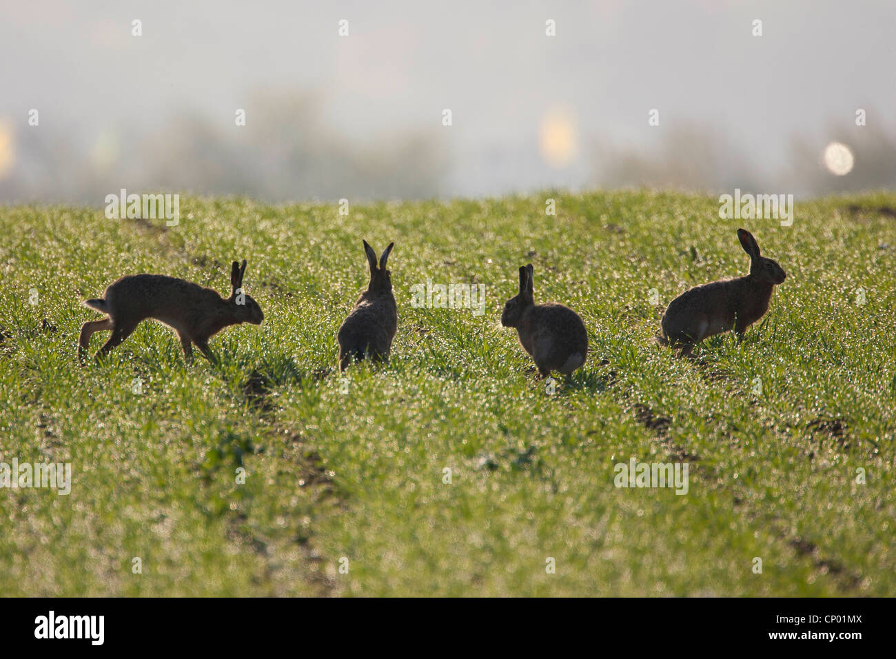 European hare (Lepus europaeus), four animals jumping in a meadow, Germany, Baden-Wuerttemberg - Stock Image