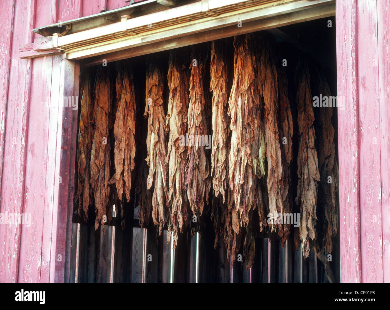 drying tobacco leaves in barn - Stock Image
