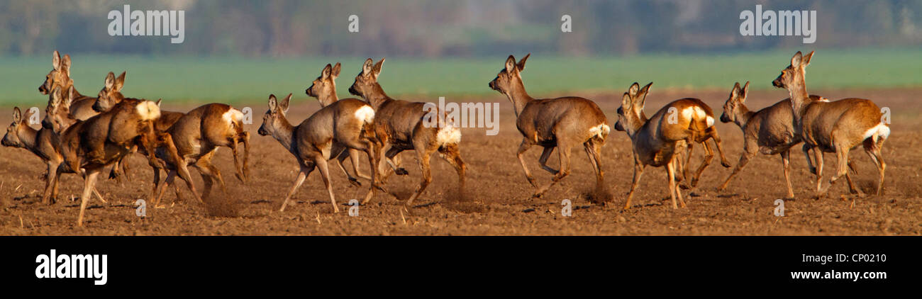 roe deer (Capreolus capreolus), fleeing, Germany, Rhineland-Palatinate - Stock Image