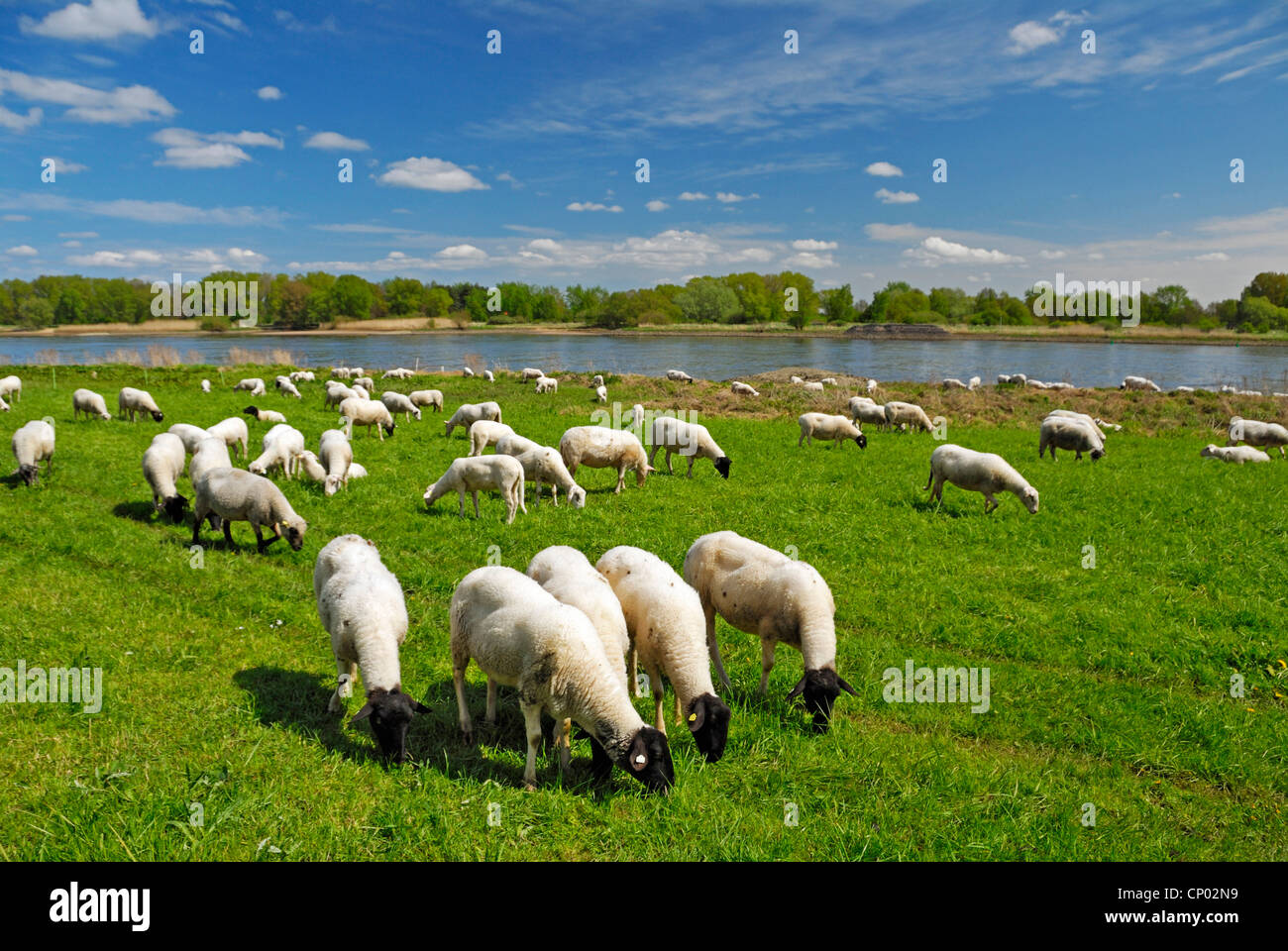 domestic sheep (Ovis ammon f. aries), grazing sheep in the meadow of Elbe river, Germany, Hamburg - Stock Image