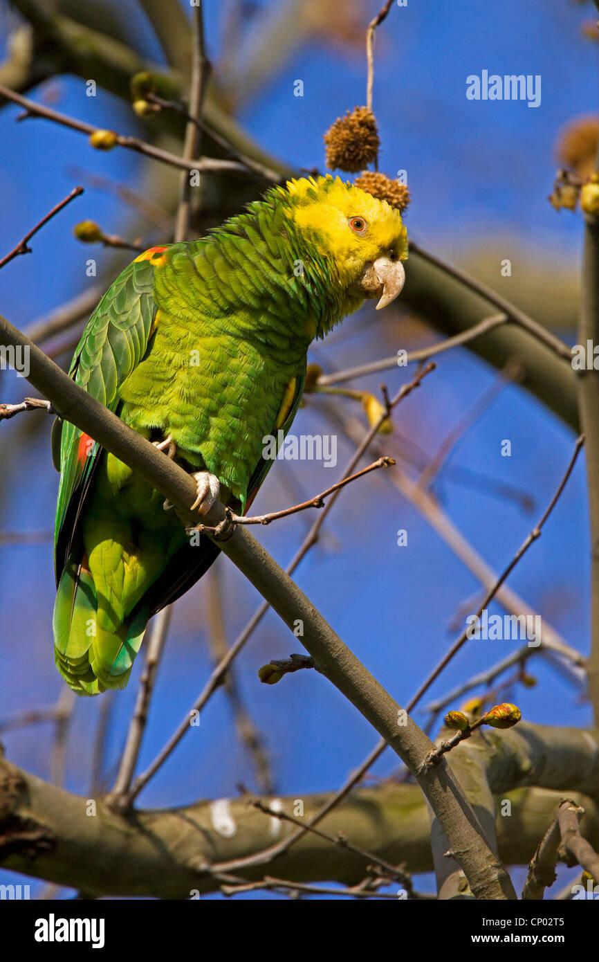 yellow-headed amazon (Amazona oratrix), sitting on a branch, Germany Stock Photo