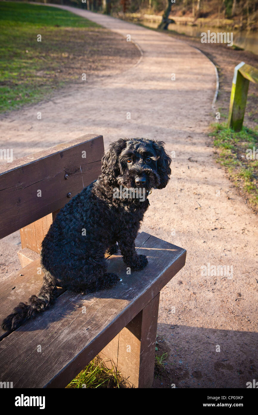 Small black puppy sitting on a wooden park bench by a windy path in Lymm Dam - Stock Image