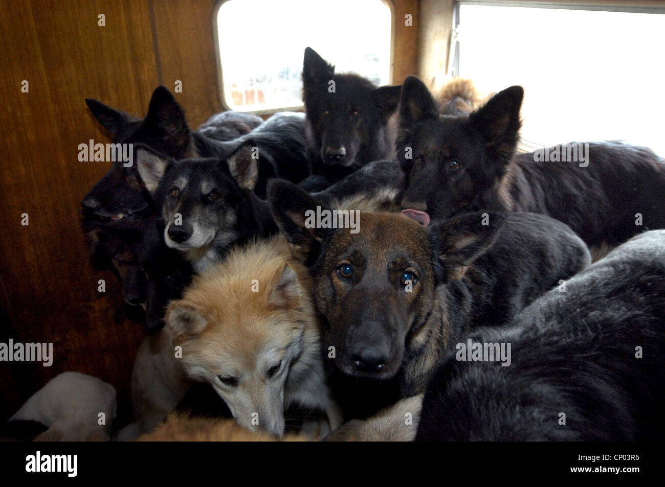 domestic dog (Canis lupus f. familiaris), crowded scruffy dogs in a room, animal hoarding,  , - Stock Image